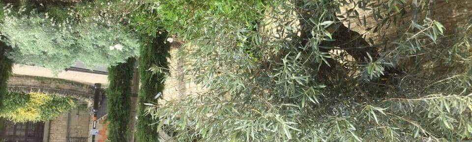 Olive Tree in Front Garden