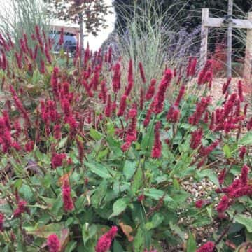 Crimson Plants In Garden