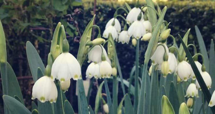White Flowers In Garden In Kettering