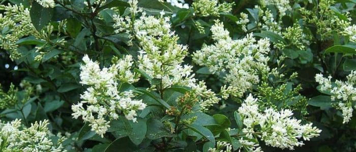 Flowering Ligustrum Ovalifolium Shrubbery
