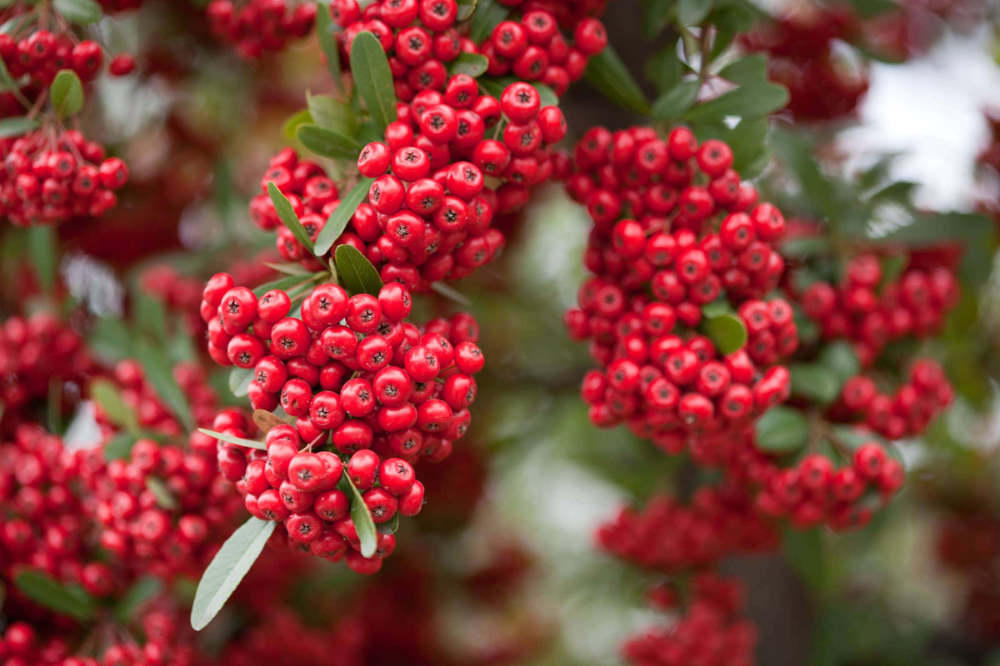 Red_pommes_of_Firethorn_(Pyracantha)