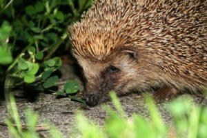 Hedgehog hiding